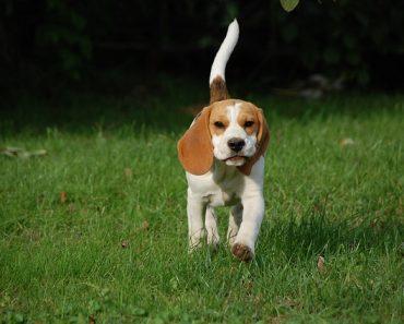 beagles dog
