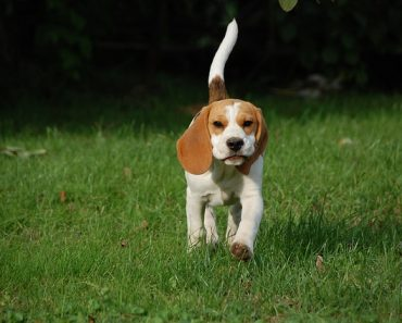 beagles dog