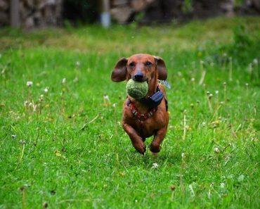 dachshund dogs