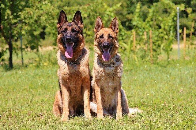 german shepherds aka GSDs
