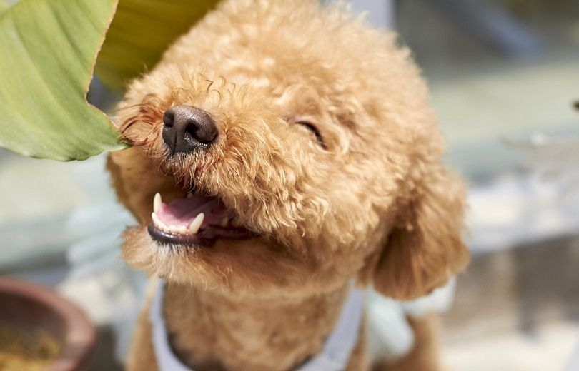Hypoallergenic Dog Breed List How To Choose A For Allergy Sufferers