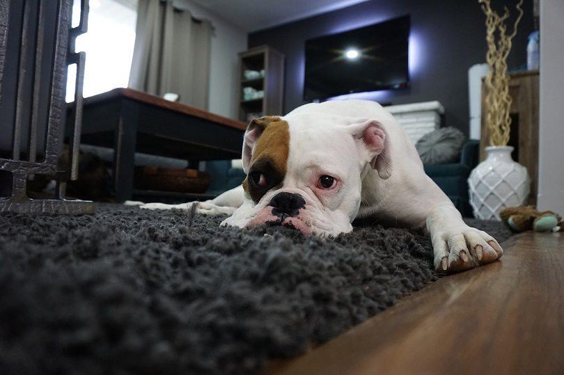 dog apartment tips
