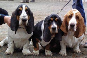 basset hound breed