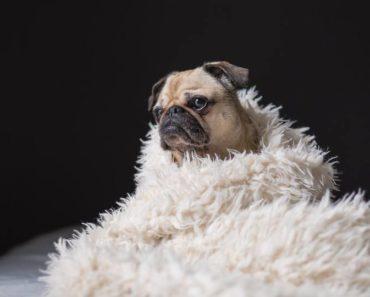dog immune system