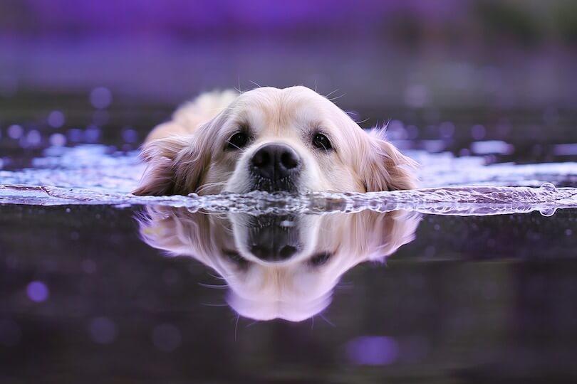 blue-green algae in dogs