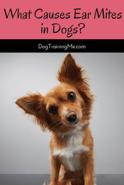 What Causes Ear Mites in Dogs