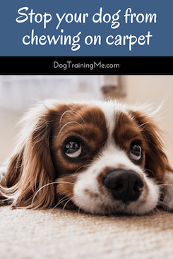 How to Stop a Dog from Chewing on Carpet