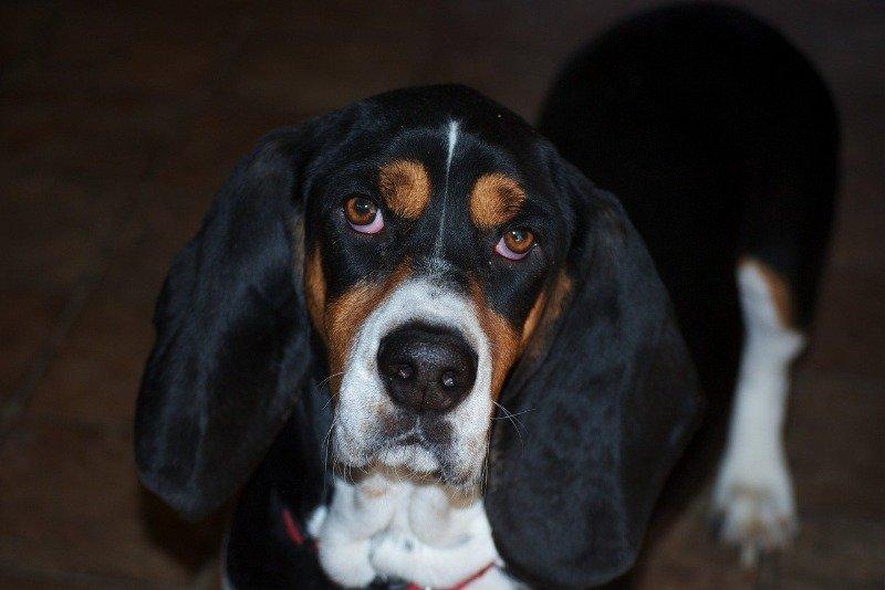 dog ear ache home remedy