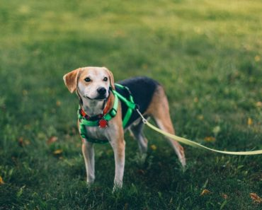 leash training for puppies