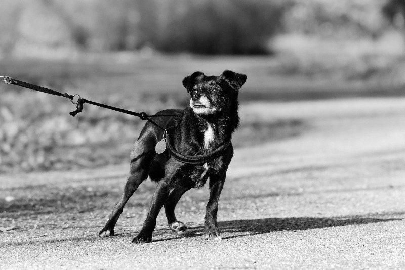 rescue dog on leash