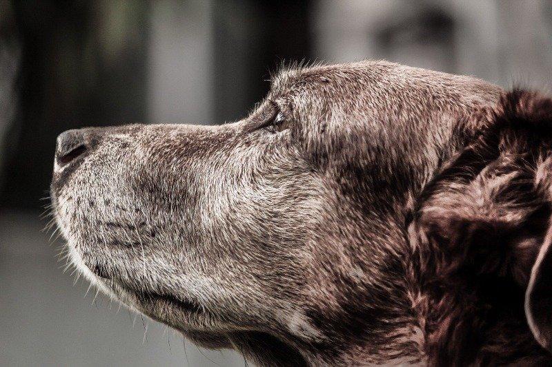 pacing elderly dog