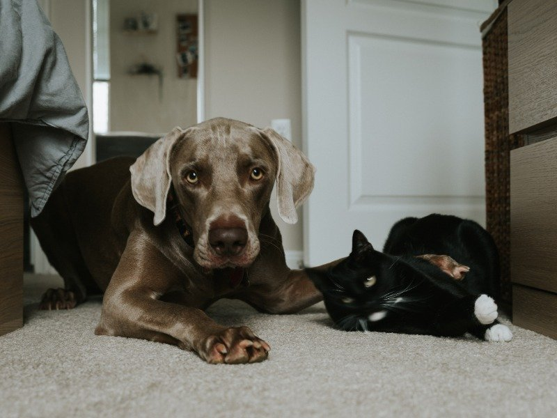 dog breeds for cat owners