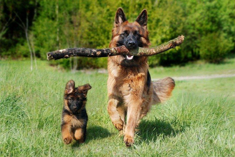 best dog breed german shepherd