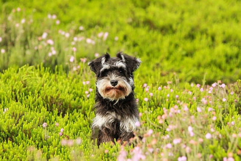 dog breeds for allergy sufferers schnauzers