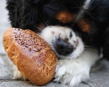 dog digest bread