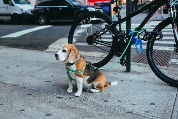 medium-sized dog breeds for family