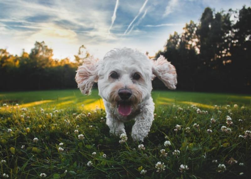 how far can a puppy walk