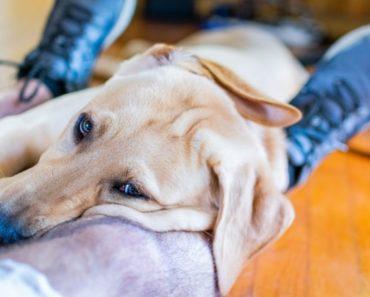 dog sits on lap
