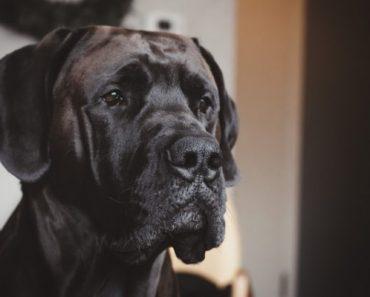 Big dog for apartment living