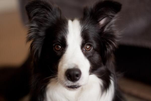 Border Collie dog breed