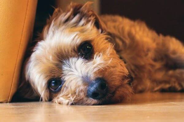 Dog breeds with low separation anxiety