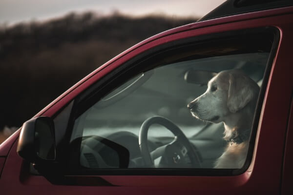Dog panting in the car