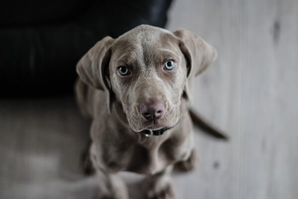 Weimaraner dog breed
