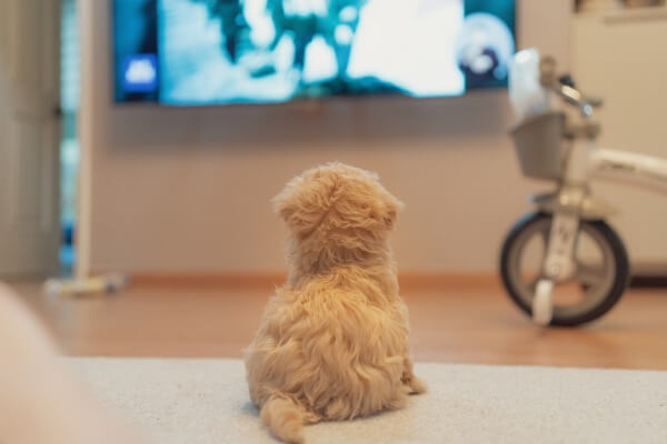 Leave the TV on for my puppy